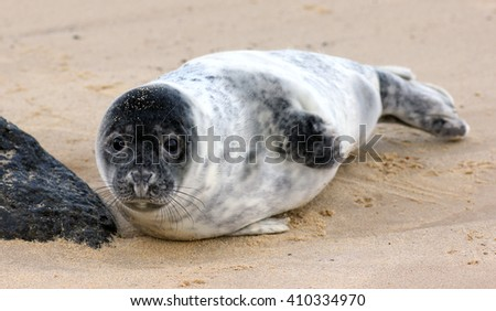 Grey seal pup, Horsey norfolk