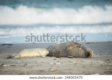Grey seal pup is suckling by it's mother - stock photo