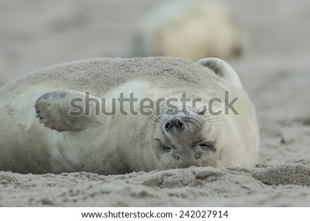 Grey seal pup on the beach - stock photo