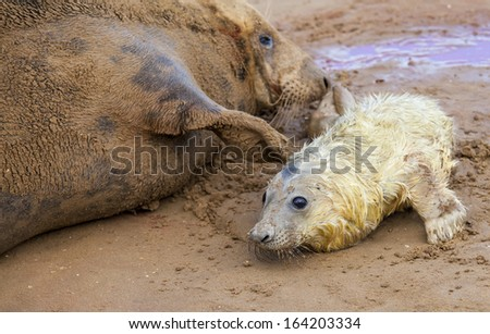 Grey seals, newborn pup and a mother on the beach in Donna Nook, UK - stock photo