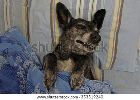 Grey shepherd dog in bed under the covers - stock photo