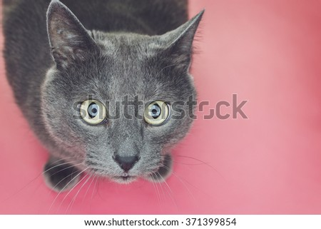 grey sitting on the pink background looking at camera - stock photo