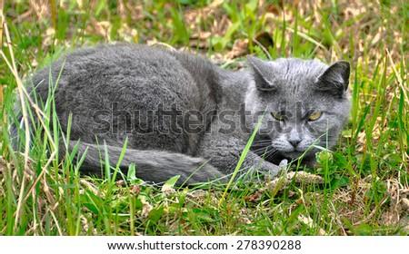 Grey smoke evil cat in the grass - stock photo