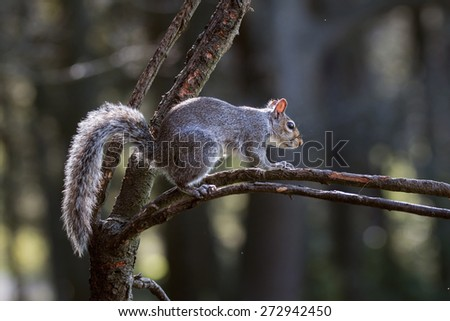 Grey Squirrel climbing a tree branch in Northumberland woodland - stock photo