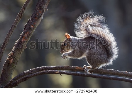 Grey Squirrel eating a nut on a woodland tree branch in Spring sunshine - stock photo