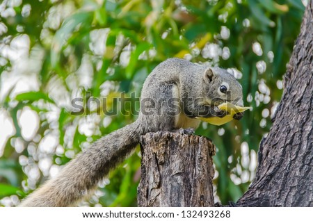 Grey Squirrel eating piece of fruit on the tree top - stock photo