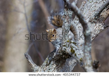 Grey Squirrel in a forest in Quebec Canada.