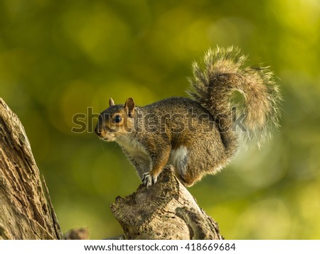 Grey Squirrel in a woodland setting. Balancing on a tree stump.