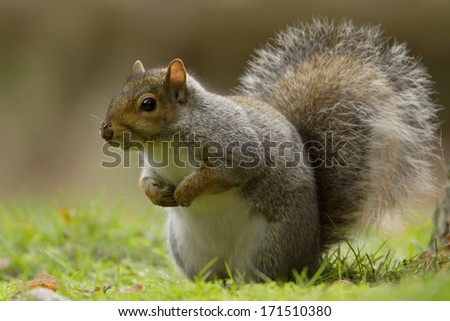 Grey squirrel in the meadow with a bushy tail up - stock photo