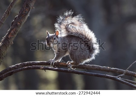 Grey Squirrel looking alert on a forest tree branch in Spring - stock photo
