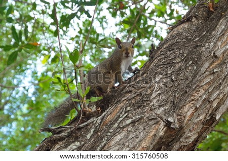 Grey squirrel looking and sitting on a tree
