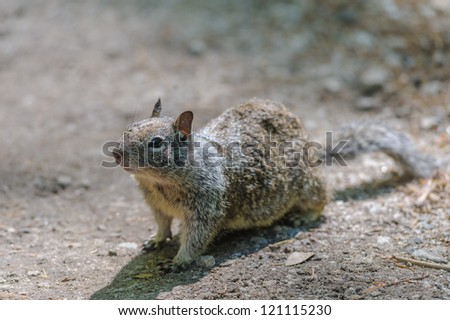 Grey squirrel looking at something - stock photo