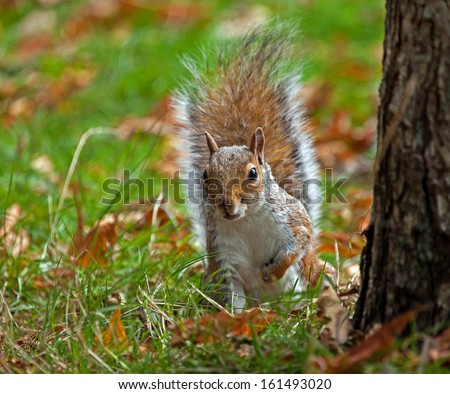 Grey Squirrel peeing from beside tree in autumn - stock photo