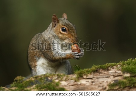 Grey Squirrel  (Sciurus carolinensis) eating an acorn sitting on a log.