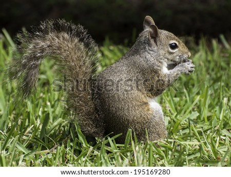 Grey squirrel sitting on green grass eating a peanut - stock photo