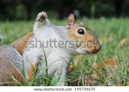 Grey squirrel with bushy tail on grass