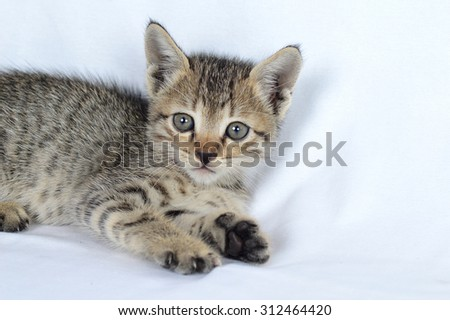 Grey striped kitten. Kitten on a grey background. Small predator. Small grey kitten isolated on grey background