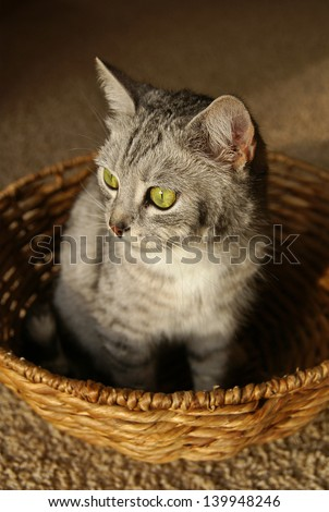 Grey stripped cat sitting in the wicker basket
