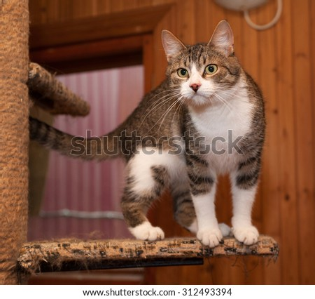 Grey tabby cat and kittens standing on scratching post - stock photo