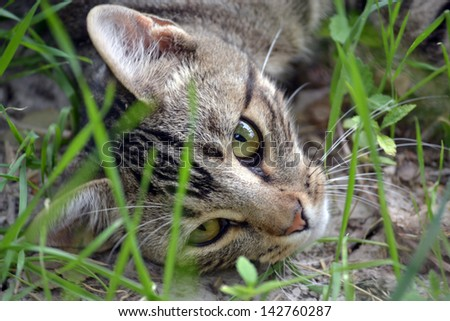 Grey Tabby Cat Face in Grass