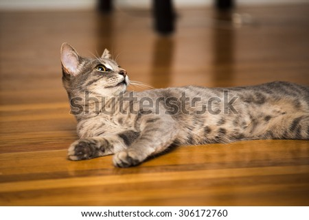 Grey Tabby Cat on a Wood Floor Looking Up