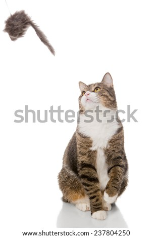 Grey tabby cat playing with a toy, on a white background