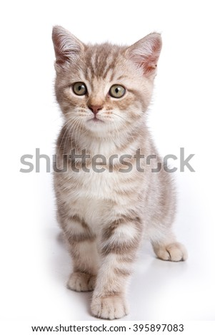 Grey tabby kitten British cat (isolated on white)