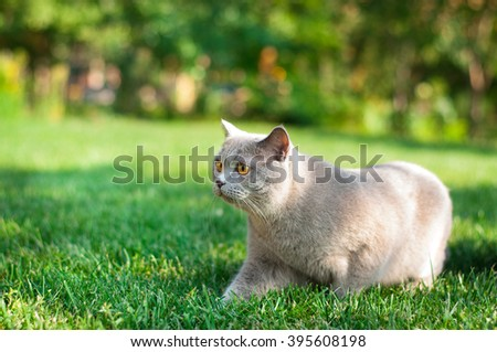 Grey teddy cat with bright eyes sneaking in the grass, playing, hunting, trees in the background, bokeh. Sunny clear summer day in the meadow.