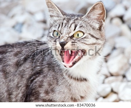 Grey thoroughbred cat on white background - stock photo