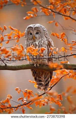 Grey Ural Owl, Strix uralensis, sitting on tree branch, at orange leaves oak autumn forest - stock photo