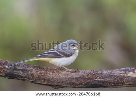 Grey wagtail  - stock photo