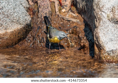 Grey wagtail feeding at the edge of the water - stock photo