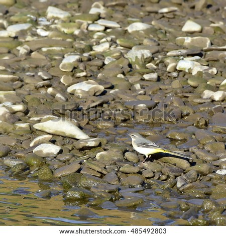 grey wagtail in its environment,- female