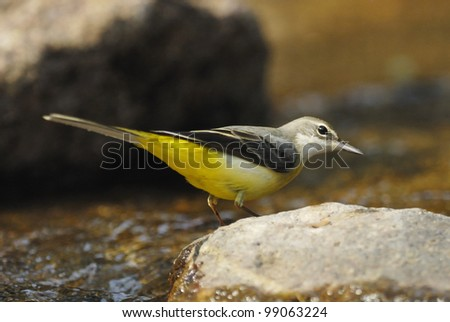 Grey Wagtail (Motacilla cinerea) in a forest stream - stock photo