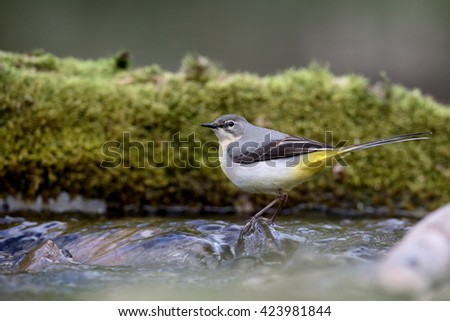 Grey wagtail, Motacilla cinerea, single female by water, Warwickshire, April 2016