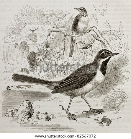 Grey Wagtail old illustration (Motacilla cinerea). Created by Kretschmer and Illner, published on Merveilles de la Nature, Bailliere et fils, Paris, 1878