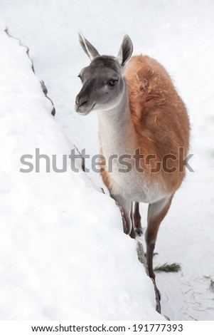 Grey, white and red llama walking through mountain trail in winter.
