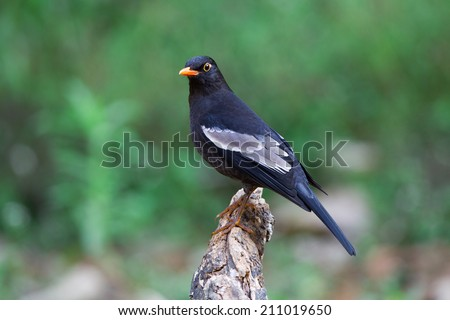 Grey-winged blackbird standing on the branches. Thailand