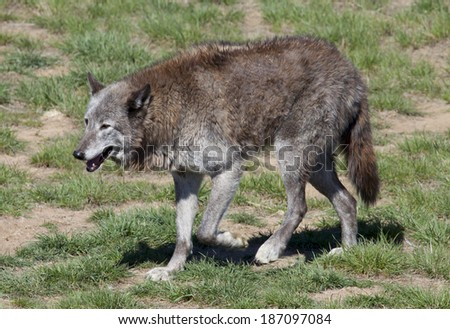 Grey wolf at a Colorado wildlife refuge. - stock photo