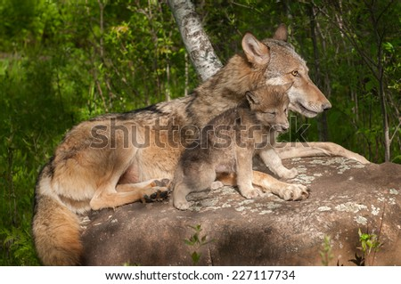 Grey Wolf (Canis lupus) and Her Pup Relax Atop Rock - captive animals - stock photo
