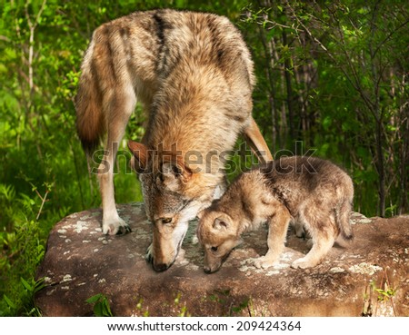 Grey Wolf (Canis lupus) and Pup Sniff Atop Rock - stock photo