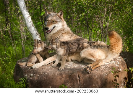 Grey Wolf (Canis lupus) and Pups Lie on Rock Together - captive animal - stock photo