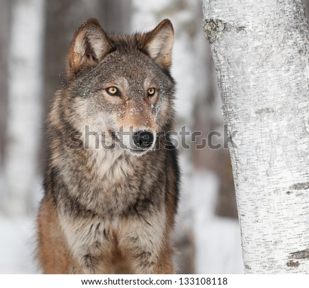 Grey Wolf (Canis lupus) By Birch Tree - captive animal - stock photo