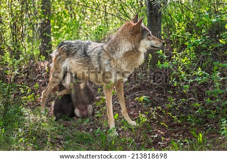 Grey Wolf (Canis lupus) Feeds Her Pups in Shady Area - captive animals