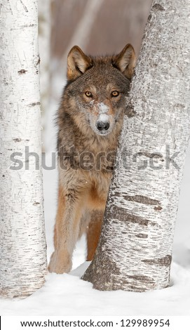 Grey Wolf (Canis lupus) Looks Between Two Birch Trees - captive animal - stock photo