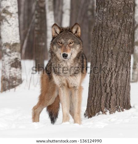 Grey Wolf (Canis lupus) Looks Forward - captive animal - stock photo