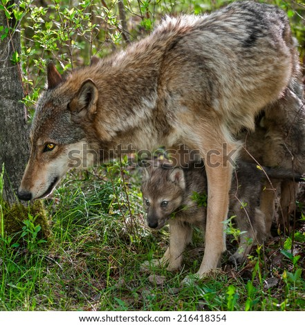 Grey Wolf (Canis lupus) Mother and Pup - captive animals - stock photo