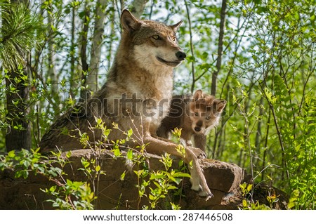 Grey Wolf (Canis lupus) Mother and Pup Sit Atop Rock - captive animals - stock photo
