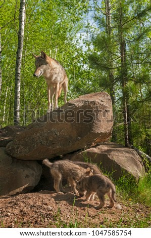 Grey Wolf (Canis lupus) Mother on Den Above Pups - captive animals