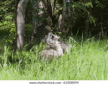 Grey wolf (canis lupus) mother plays with her young puppy in a forest meadow. - stock photo